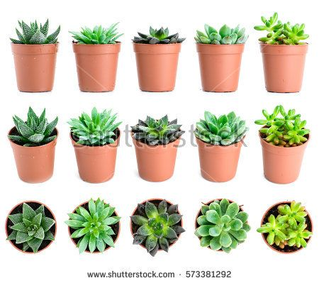 Set Of Pot Plant Echeveria And Other Succulents In Different Types Isolated On A White Background Indoor Cactus Types Cactus Types Indoor Cactus