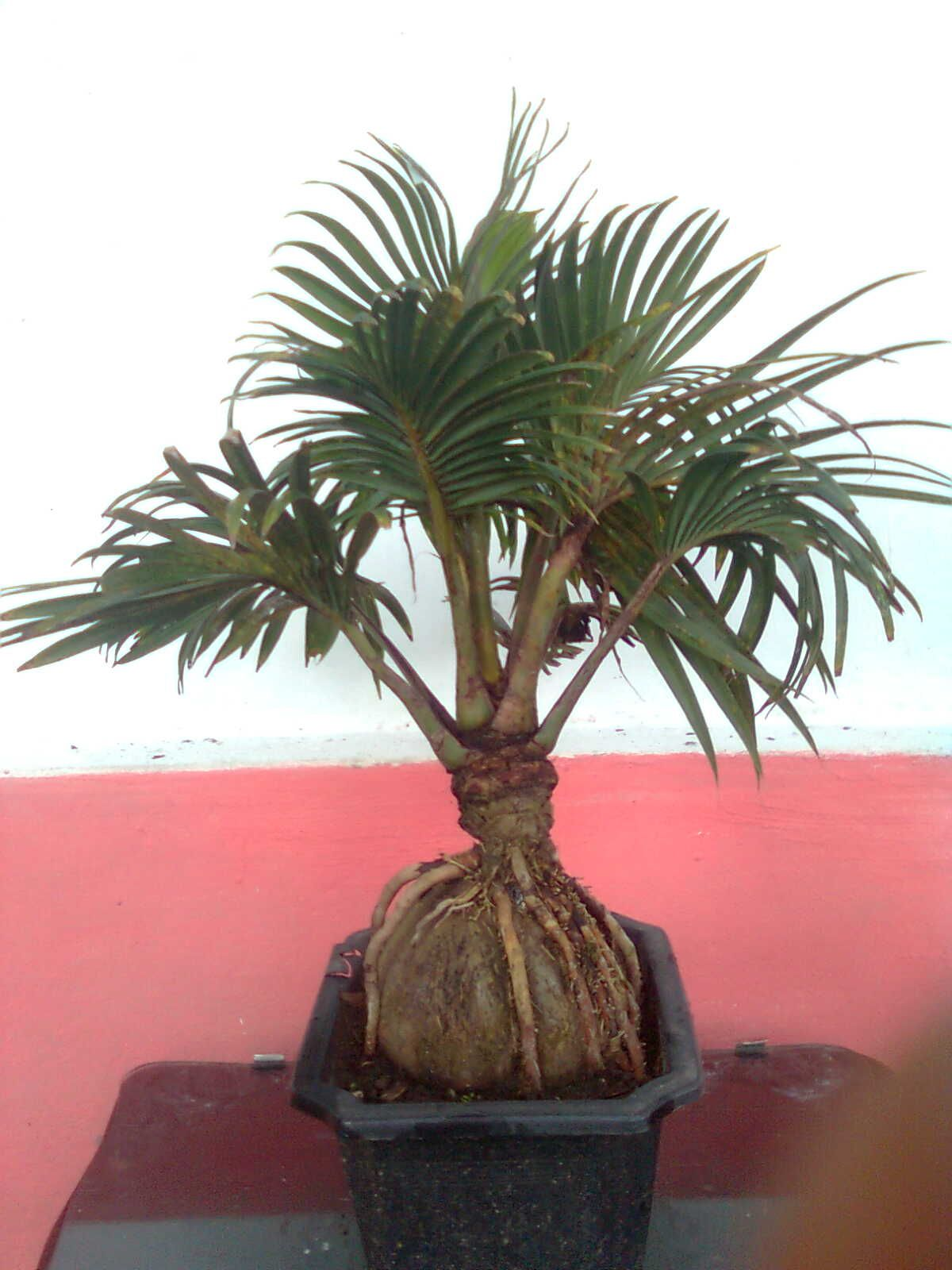 Bonsai Kelapa Ide Berkebun Pohon Bonsai Kelapa