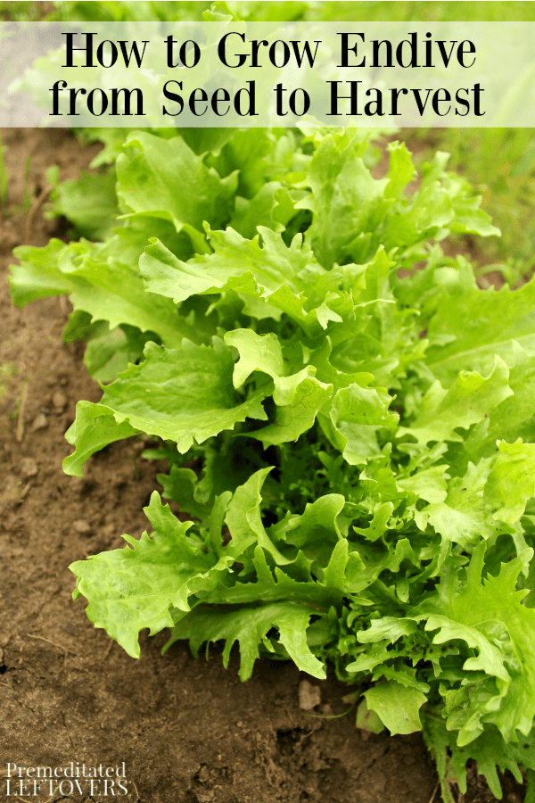The Ultimate Guide To When To Sow Endive Seeds Uk