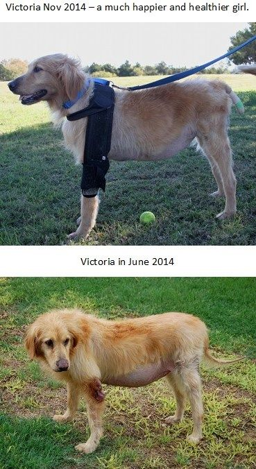 Pin By Golden Retriever Rescue Of North Texas Grrnt On Permanent
