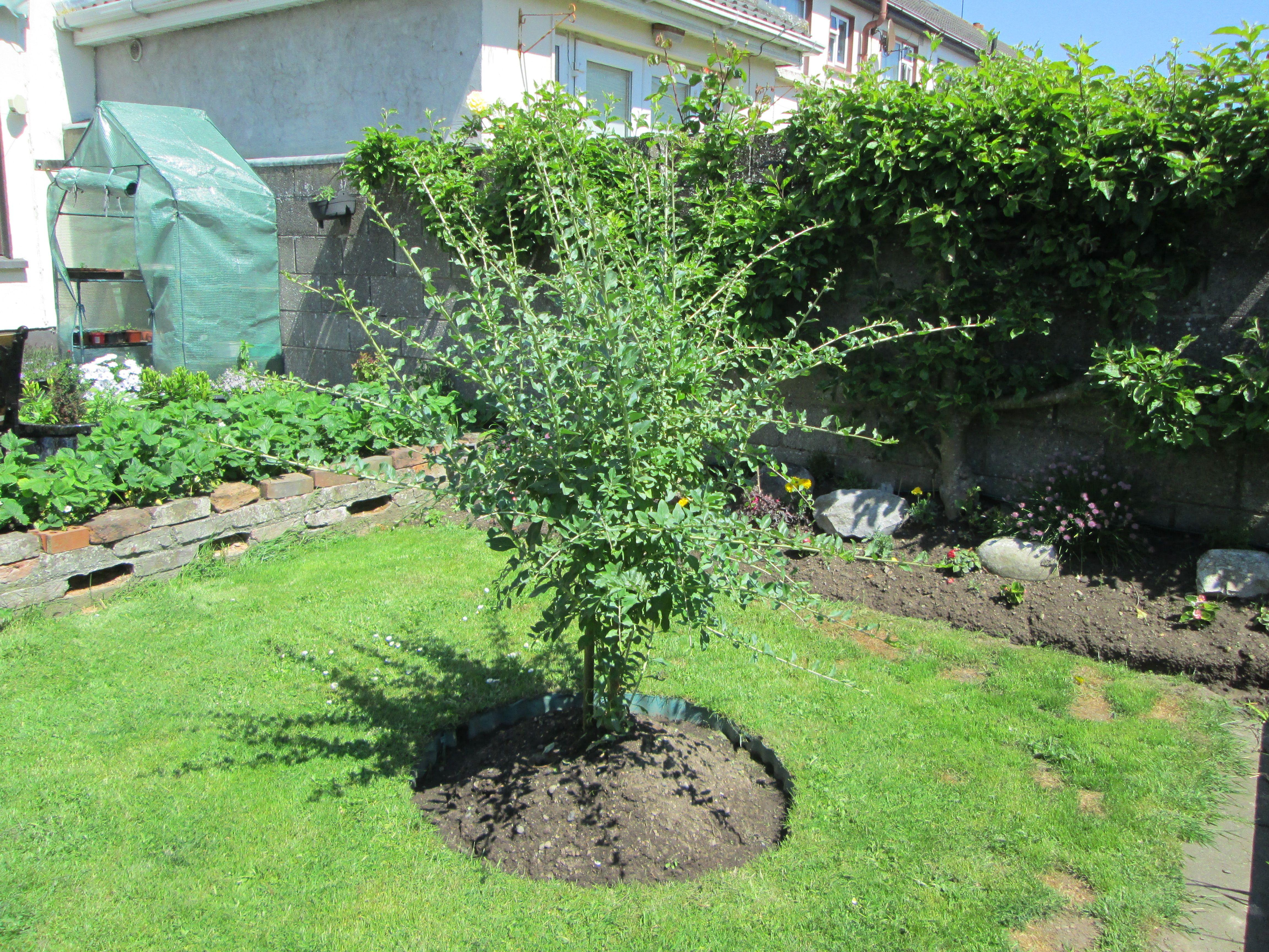 How To Grow A Goji Berry Tree In The Garden Growing Goji Berries