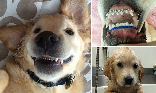 Meet The Golden Retriever Puppy Who Has To Wear Braces Puppies