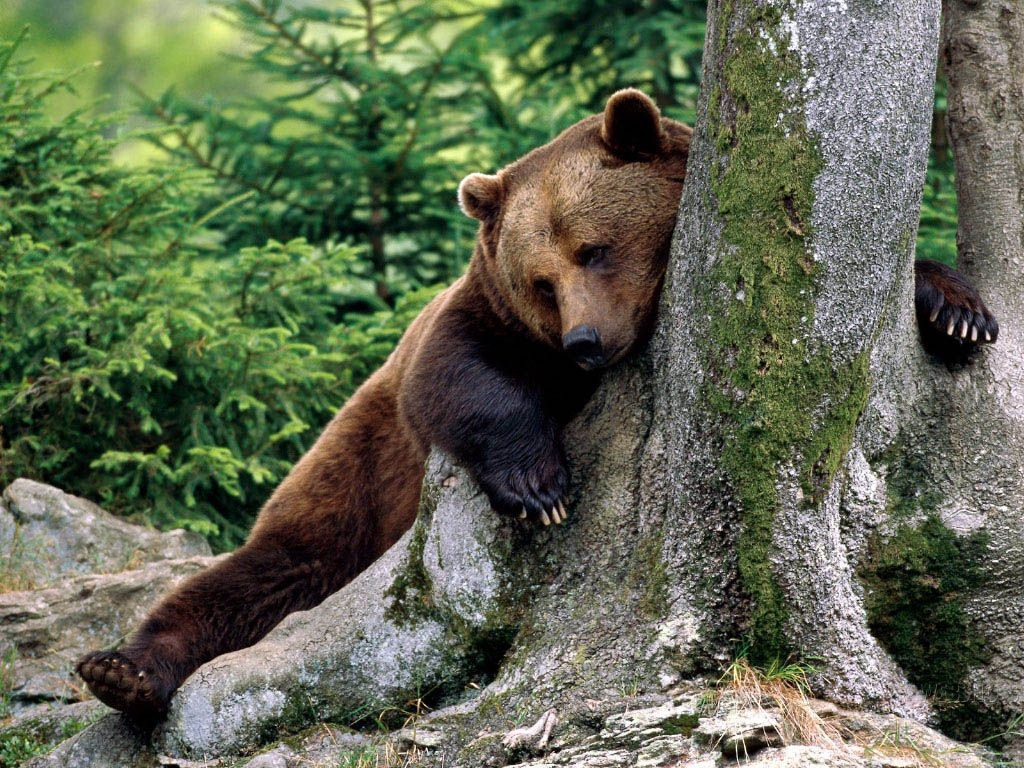 Beautiful animal pictures wallpaper nameanimalswallpapers brown grizzly bear a close cousin voltagebd Gallery