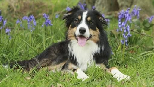 Image Result For Tricolour Border Collie Puppies Border Collie Puppies Border Collie Collie Puppies