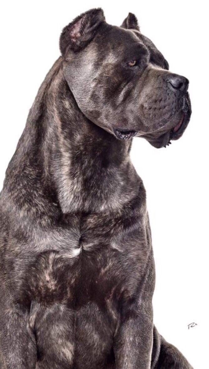 Pin By Dogs The Best Friends On Dogs Cane Corso Black Pitbull Cane Corso Cane Corso Dog Corso Dog
