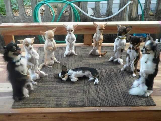 So many cute chihuahuas!