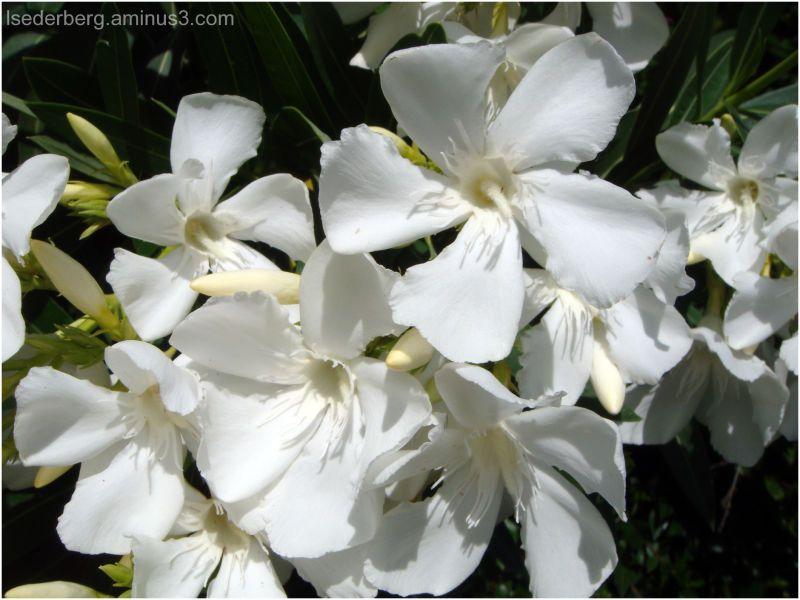 White oleander flower google search pinterest white oleander flower google search mightylinksfo