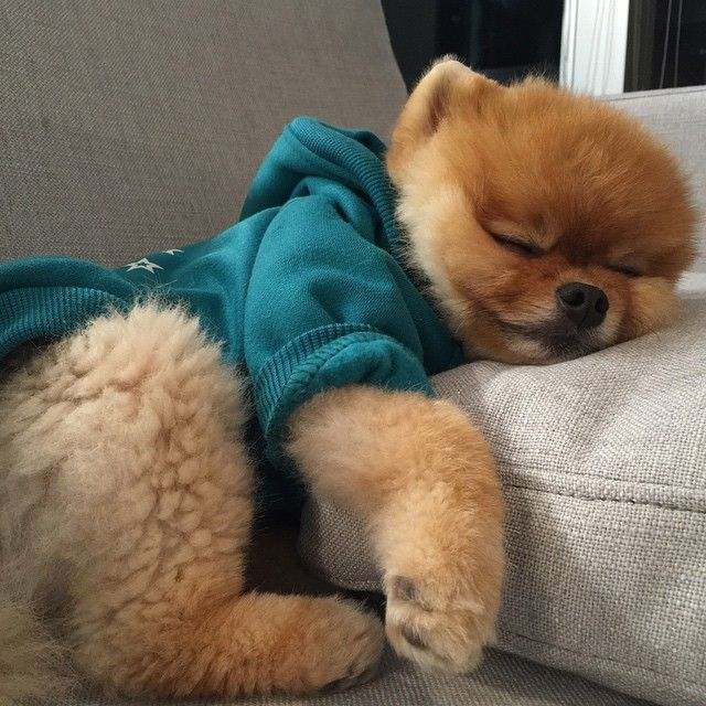 Jiffpoms Photo On Instagram BooWorlds Cutest Dog Others - Jiff the pomeranian is easily the best dressed model on instagram