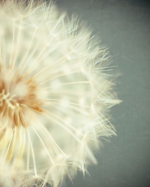 Dandelion My Sweet Boy Loves These Whenever We Walk By One He Cannot Resist The Urge To Pick One Up Flowers Photography Dandelion Art Flower Pictures