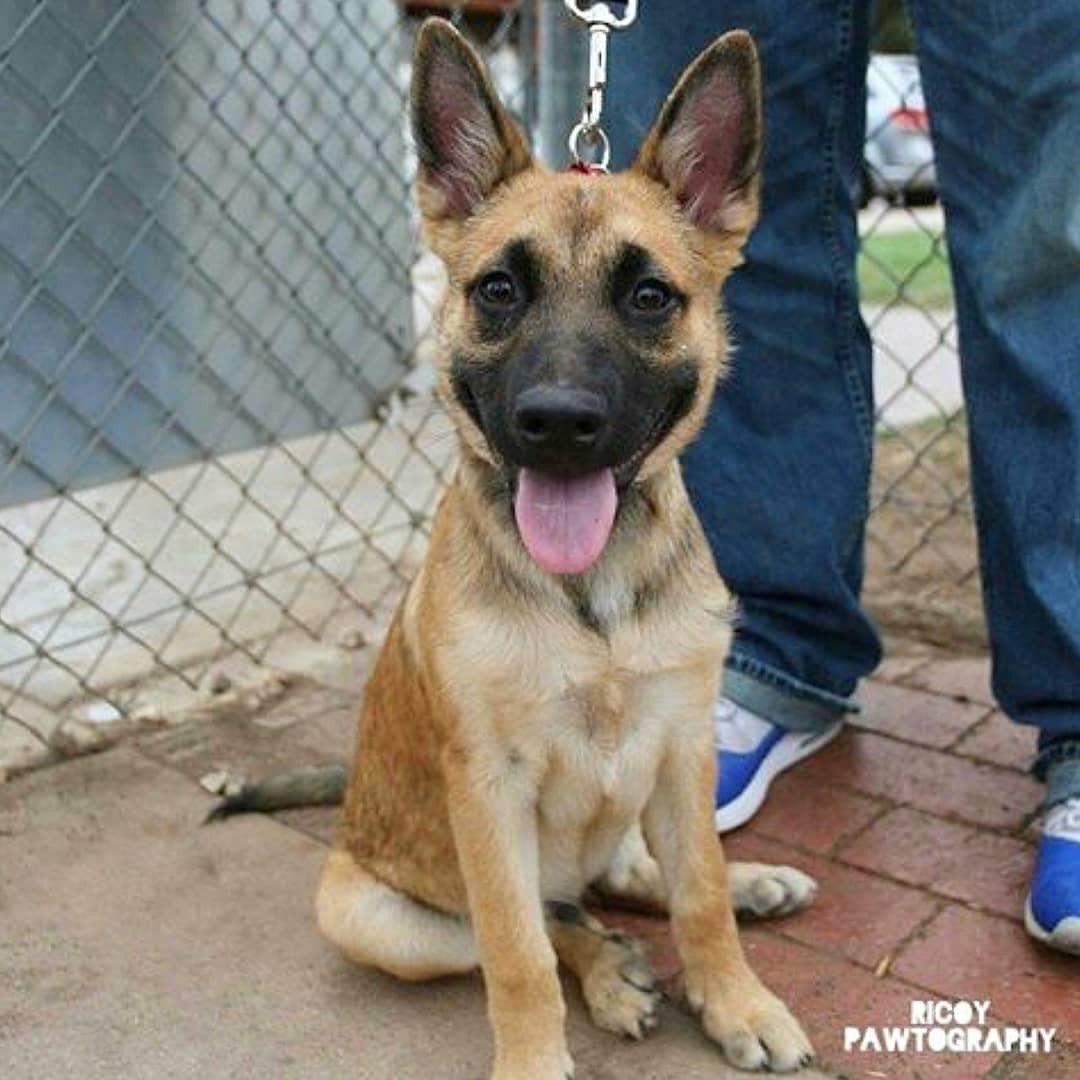 Max, Belgian Malinois, Kearney Mesa Dog Park [Dogumented 6