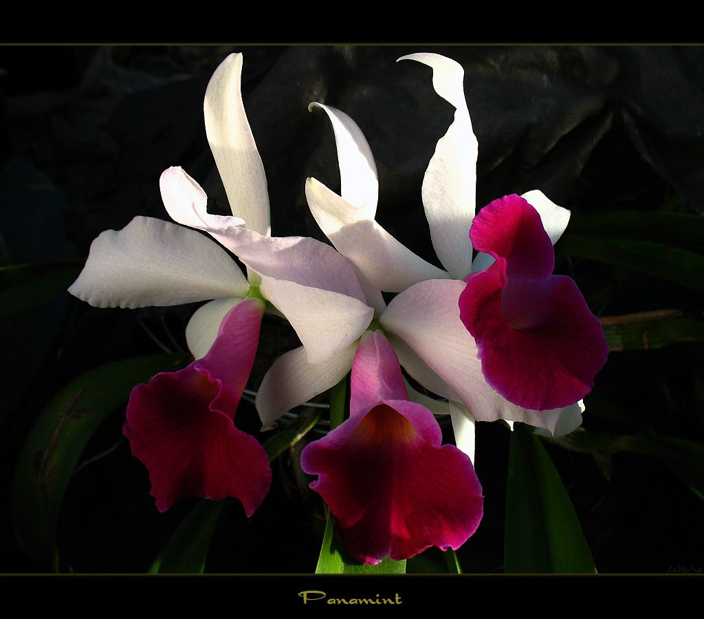 Types Of Rare Exotic Flowers Here Is The Orchid Panamint Which