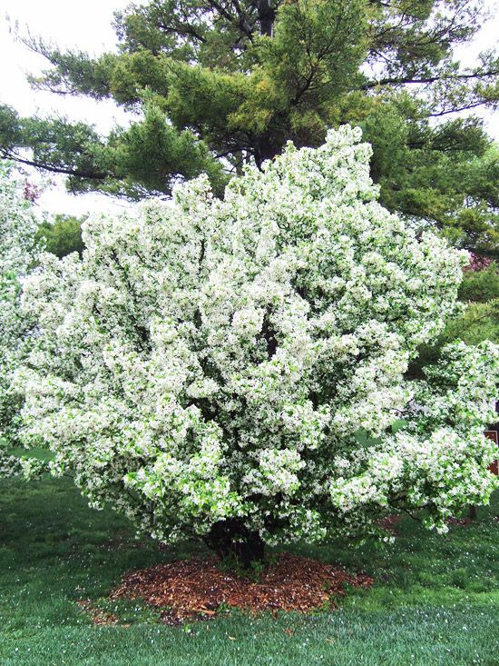 Best crabapples for your yard powdery mildew dwarf and rust for Best dwarf trees for front yard