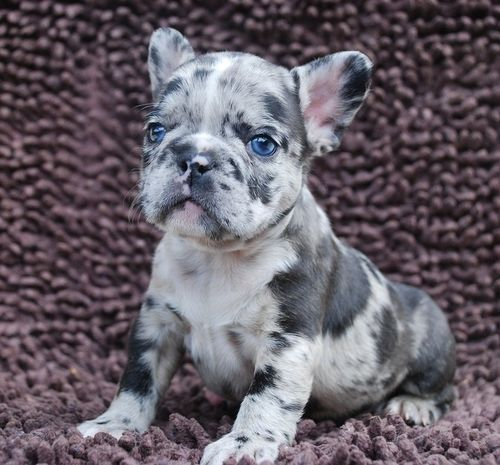 Frenchbulldogsallcolors Lilac And Lilac Merle Litter Triple Hunde Babys Tiere Hunde