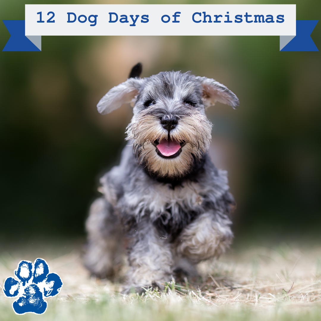 New Puppy For Christmas 2020 December 12 Dogs of Christmas | Schnauzer puppy, Puppies, Dog breeds