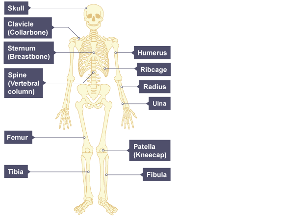 human skeleton, with the bones labelled: skull, clavicle, sternum, Skeleton