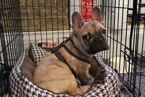 Dog of the Day Dougal, the fawn French Bulldog puppy, in
