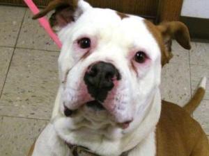 Porsha Is An Adoptable American Bulldog Dog In Dubuque Ia Portia Is A 5 Year Old American Bulldog Who Lost He Dog Adoption No Kill Animal Shelter Bulldog Dog