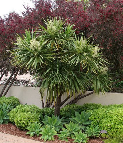 Donna Lynn - Landscape Designer The compact shrub is Pittosporum crassifolium 'Compactum' and the succulent in the foreground is Agave attenuata. Cabbage tree center.