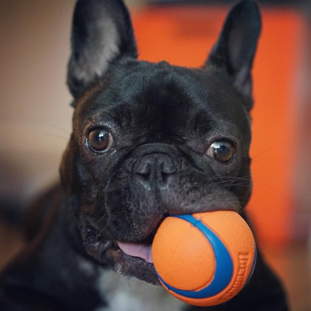 Download Bulldog Ball Adorable Dog - 0202f1b5528c920aa29e28feaf1c3409  You Should Have_205035  .jpg