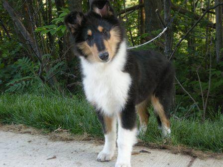 Eden 14 Weeks Rough Collie Collie Collie Puppies
