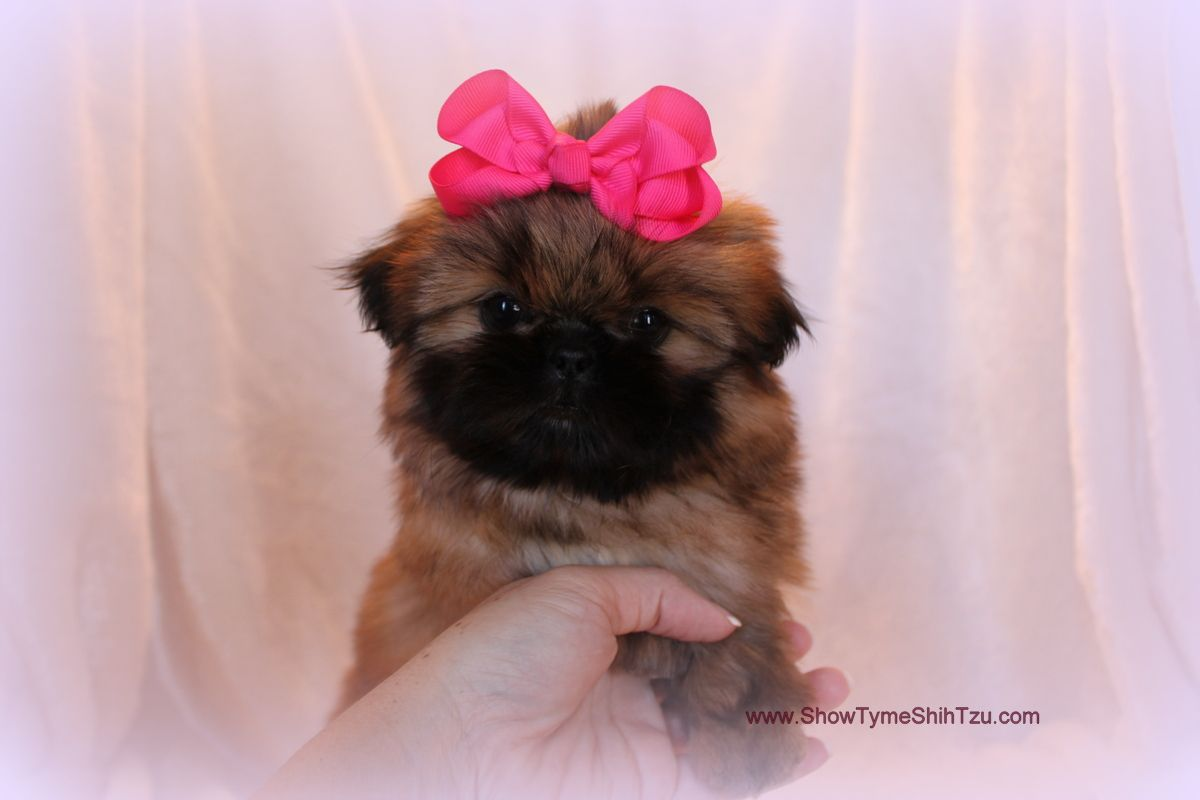 Imperial Shih Tzu Bellatiniredgold With Dark Mask Will Be
