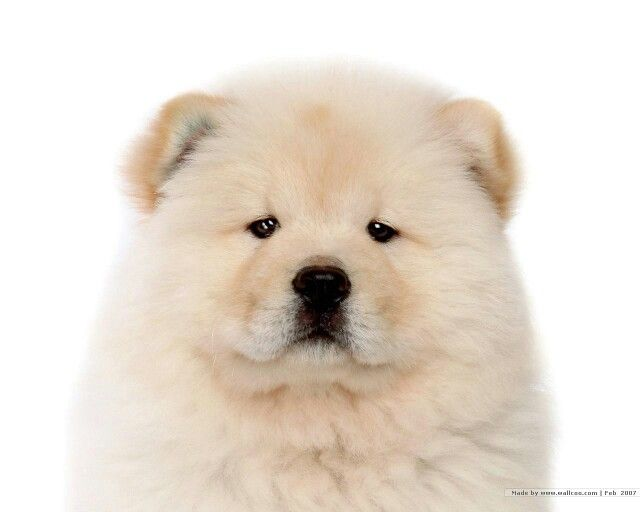 Fluffy Snow White Chow Puppy Chow Chow Puppy Puppy Wallpaper