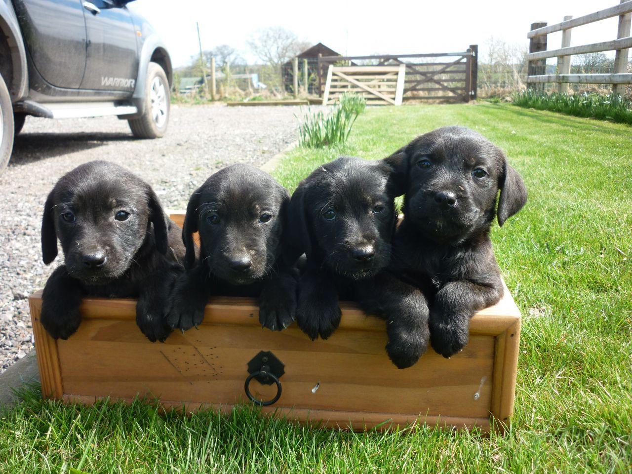 Cocker Spaniel Cross Labrador Puppies Pets Gallery Blog Dog