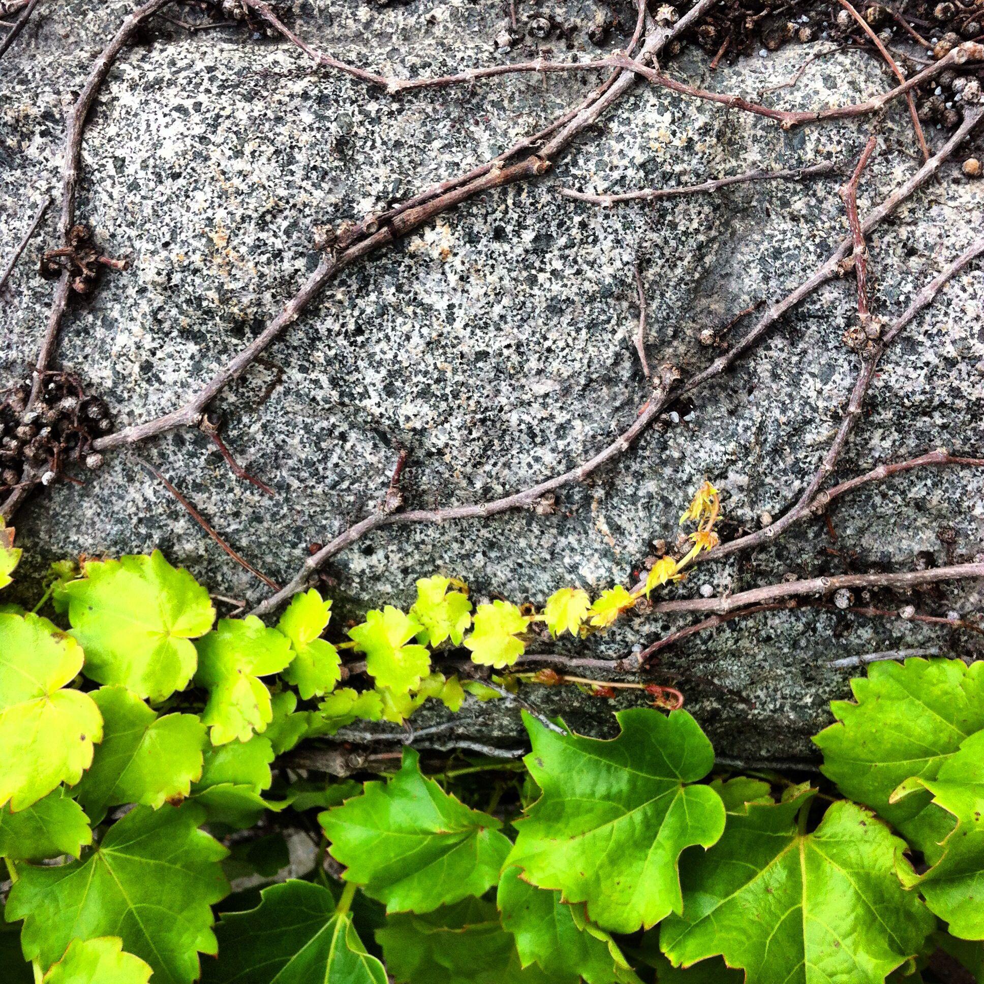 ivy. granite.
