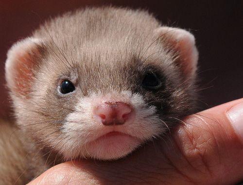 Ferret Polo Aged 8 Weeks By Musicaltone Baby Ferrets Cute Ferrets Pet Ferret