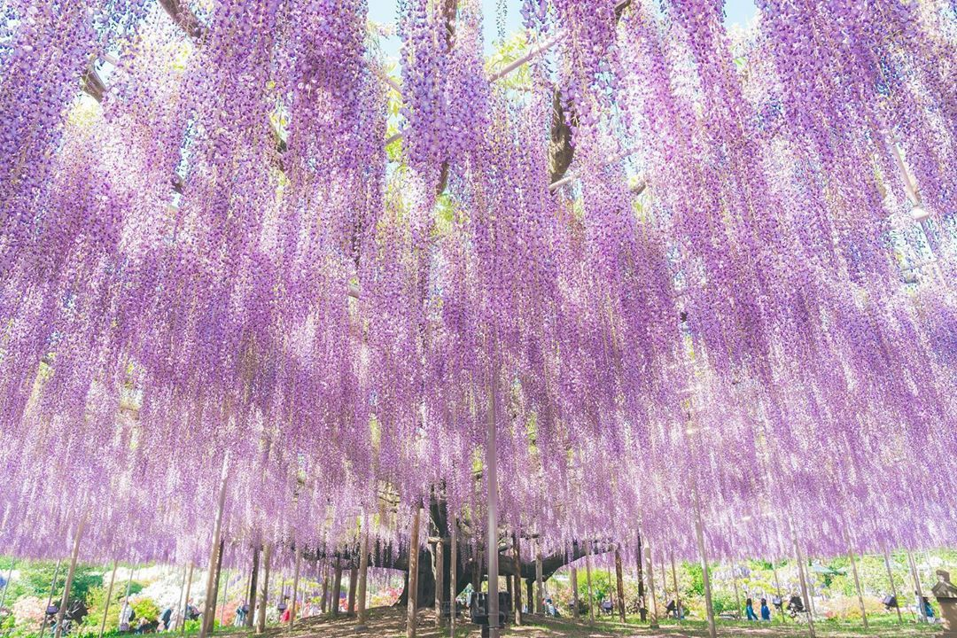 Venture To The Ashikaga Flower Park In Tochigi Japan And You Ll Find A Wisteria Tree That S Often Referred To In 2020 Wisteria Tree Wisteria Landscape Design Services