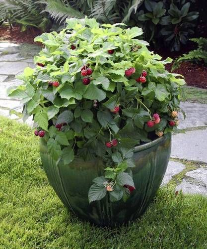 Raspberry Shortcake Dwarf Raspberry Raspberries will grow happily in a container on your patio. Great idea for any vine berries- will keep them from completely taking over. Raspberries on a deck!Raspberries will grow happily in a container on your patio. Great idea for any vine berries- will keep them from completely taking over. Raspberries on a deck!