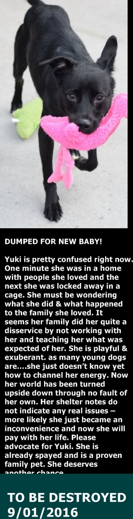SAFE 9-2-2016 by Pound Hounds Res-Q --- Brooklyn Center  My name is YUKI. My Animal ID # is A1086665. I am a spayed female black and white labrador retr mix. The shelter thinks I am about 2 YEARS  I came in the shelter as a OWNER SUR on 08/22/2016 from NY 11226, owner surrender reason stated was NEW BABY.  http://nycdogs.urgentpodr.org/yuki-a1086665/