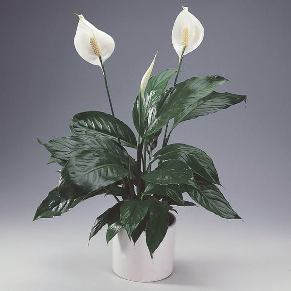 34 Poisonous Houseplants For Dogs And Cats Spathiphyllum Plants