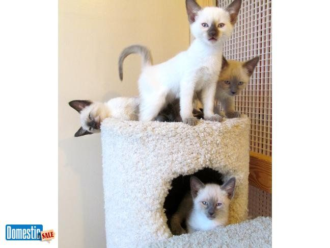 Siamese Kittens Seal Blue Chocolate Lilac 400
