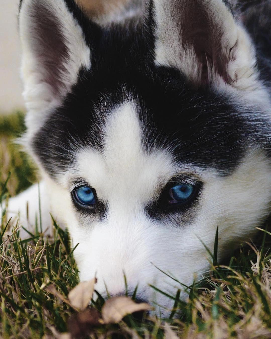 Husky Lovers Husky Lovers Owners Instagram Posts Videos Stories On Webstaqram Com Siberian Husky Husky Wolf Dog Puppy