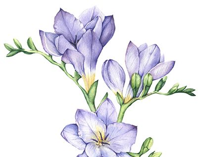Freesia Watercolour Painting Pinterest Google Search Flower Drawing Botanical Painting Freesia Flowers