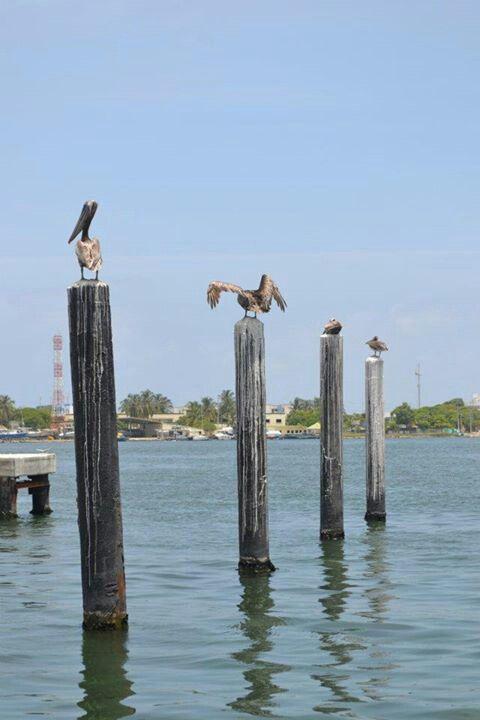 Pelicanos Pajaros Animales Plumas