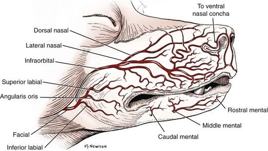 Anatomy Of Canine Mouth Soft Tissues The Oral Cavity Veterian Key
