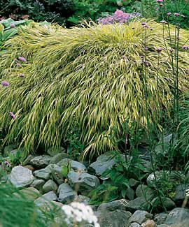 Japanese forest grass, good for sun or shade. Gets pink highlights in cool weather. Very pretty.