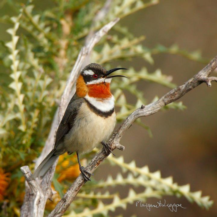 Western spinebill, Dryandra forest, Western Australia