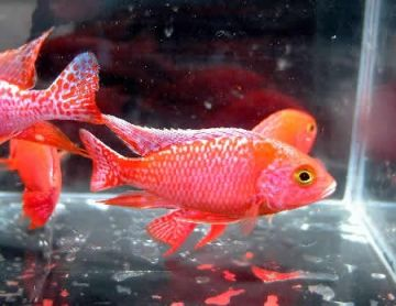 Peacock Strawberry Red African Cichlid Aulonocara Sp Aquarium Fish Discus Fish Freshwater Fish And Tropic African Cichlids Cichlids Aquarium Fish For Sale
