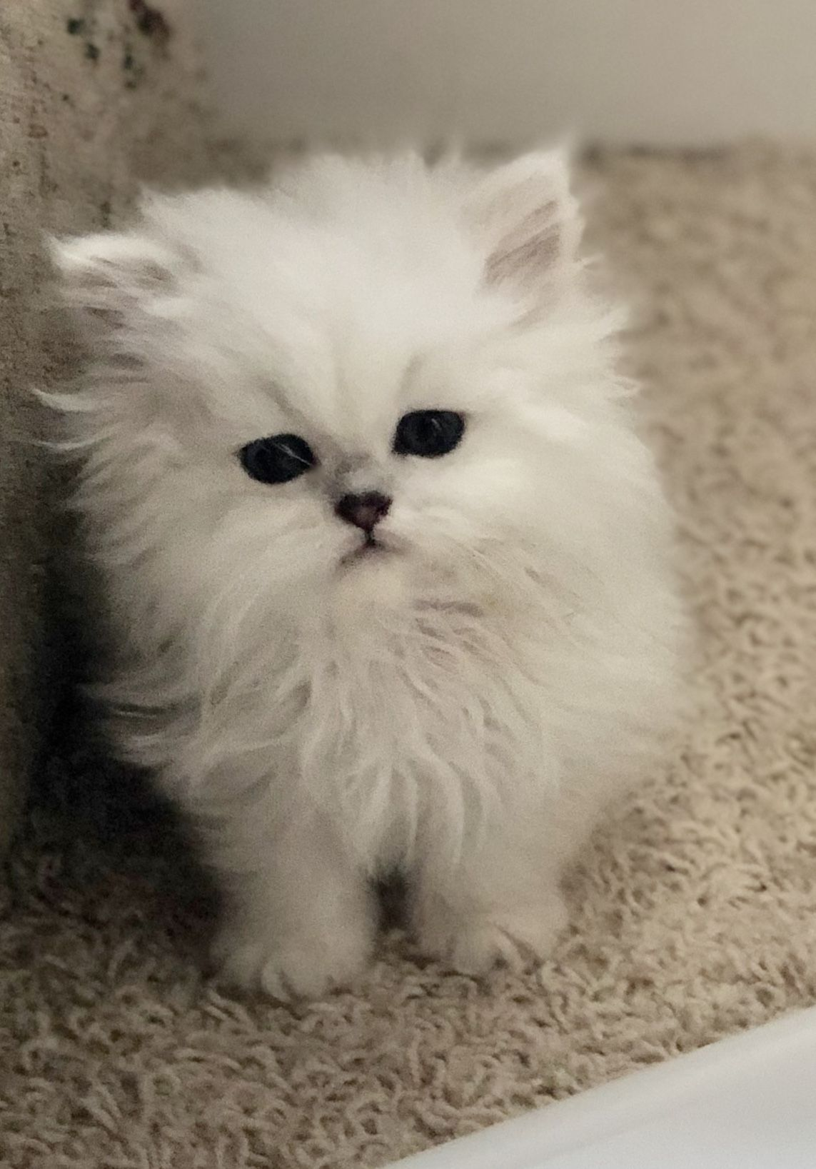 Persian kittens available in a variety of colors. (With