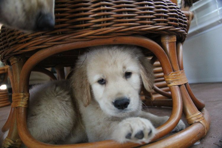 Available Puppies Welcome To Young Ridge Goldens Kennels