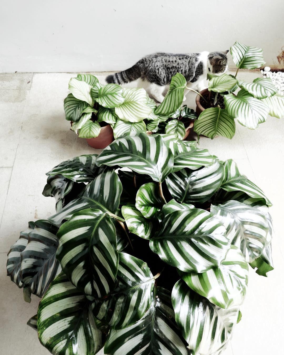 Calathea: growing and care (INFOGRAPHICS)