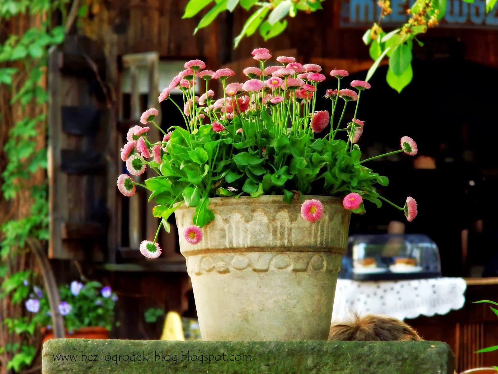 Bez Ogrodek Kwiaty Cebulowe W Donicach Planter Pots Planters Plants