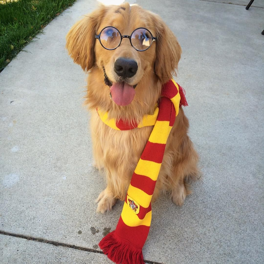 hairy potter - dog costumes - halloween @golden_stark | golden