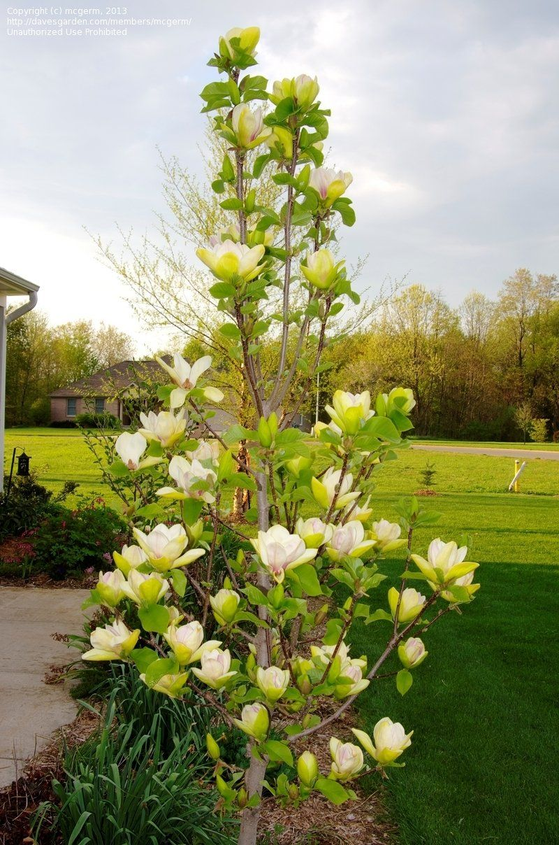 Magnolia Sunsation From Friends School Plant Sale Planted May 2018 Magnolia Tree Landscaping Magnolia Trees Garden Shrubs