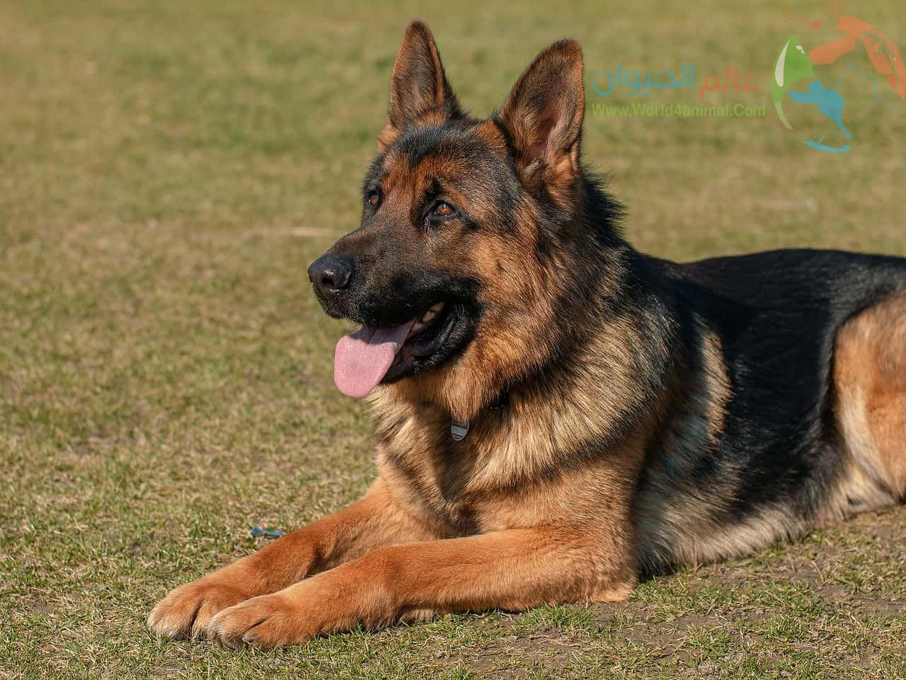معلومات عن كلاب جيرمن شيبرد وجيرمن شيبرد لونج هير Guard Dogs Best Guard Dogs German Shepherd Breeders