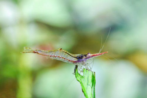 Красноносая Креветка / Rednose Shrimp, Red Nose Shrimp, Pinocchio Shrimp