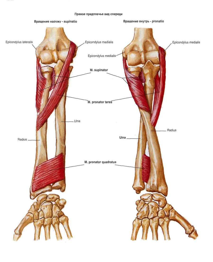 Картинки по запросу круглый пронатор   anatomy   Pinterest   Anatomy